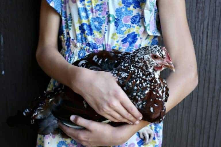 Feeding your Chickens Eggshells